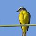 Yellow-margined flycatcher - Tyranneau à ailes jaunes - Picoplano aliamarillo del Pacífico - Tolmomyias flavotectus