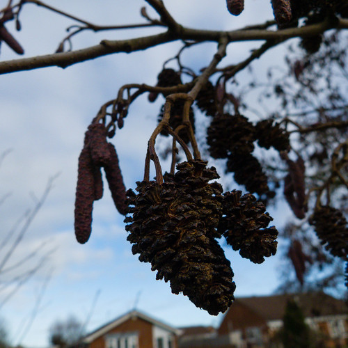 Catkins and cones together: alder, Perton