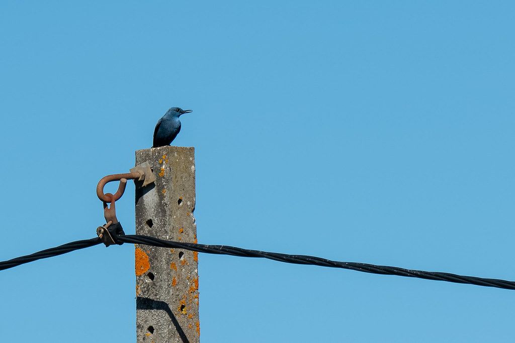 Blue Rock Thrush (Monticola solitarius)