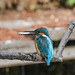 Kingfisher 1903171366.jpg