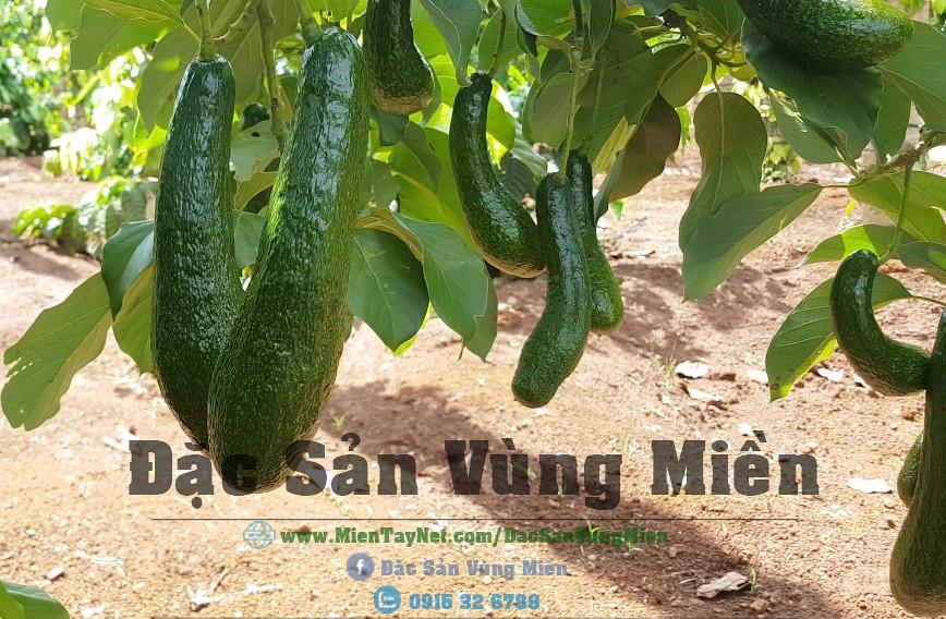 Bơ 304 Đắk Lắk tại TP Cần Thơ -  Đặc Sản Vùng Miền 0915 32 6788