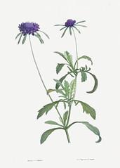 Allium atropurpureum flower