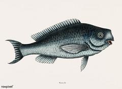 Blue Fish (Novacula Caerulea) from The natural history of Carolina, Florida, and the Bahama Islands (1754) by Mark Catesby (1683-1749).