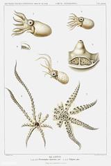 Octopus varieties vintage poster