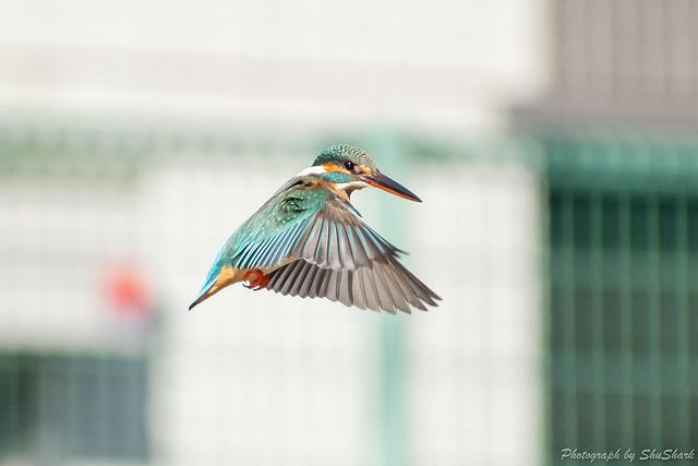 20190210-kingfisher-DSC_1117