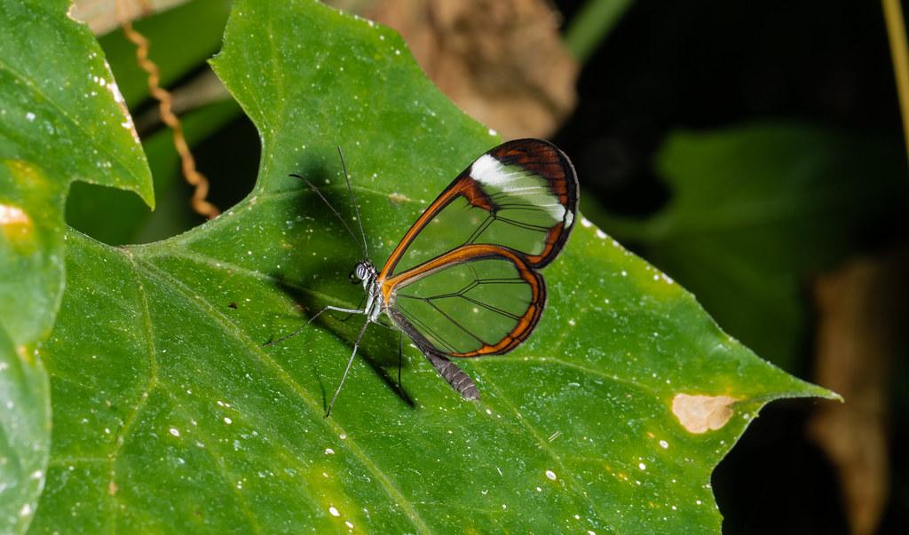 Butterfly_4