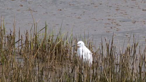 Little egret in reed bed, Goosemoor RSPB