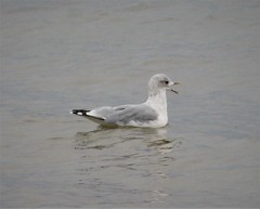 Sabine's Gull. Larus sabini.  possibly