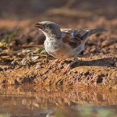 Northern Gray-headed Sparrow (Passer griseus)