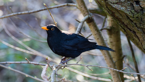 Just another male blackbird