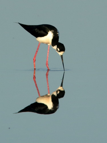 Black-necked Stilts 020-20190401