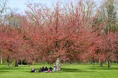Hanami au Parc de Sceaux