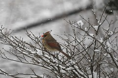 Female cardinal, dogwood, snow