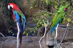 Parrot Pair
