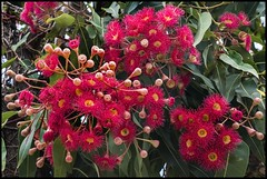 Red gum nut flowers-2=