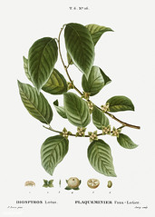 Date plum (Diospyros lotus) illustration from Traité des Arbres