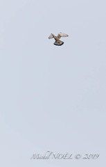 Faucon crécerelle - Falco tinnunculus - Common Kestrel : Michel NOËL © 2019-2240.jpg - Photo of Créteil