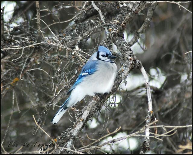 2019-01.blue.jay.spruce.1