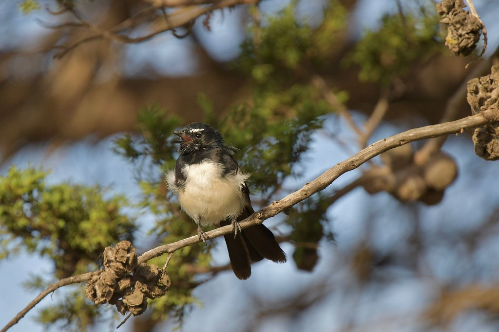Willie Wagtail ( with a lot to say )