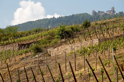 Les vignes du Haut-Koeningsbourg