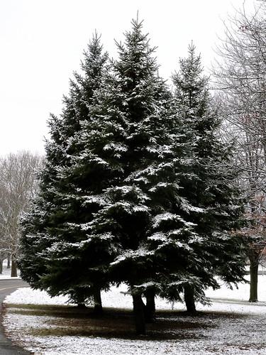 binghamton newyork otsiningopark winter trees bluespruce piceapungens flock nobirds flockedtrees