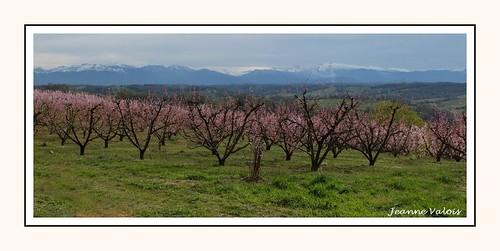 Pêchers en fleurs - variété Roussane, région de Monein (64)