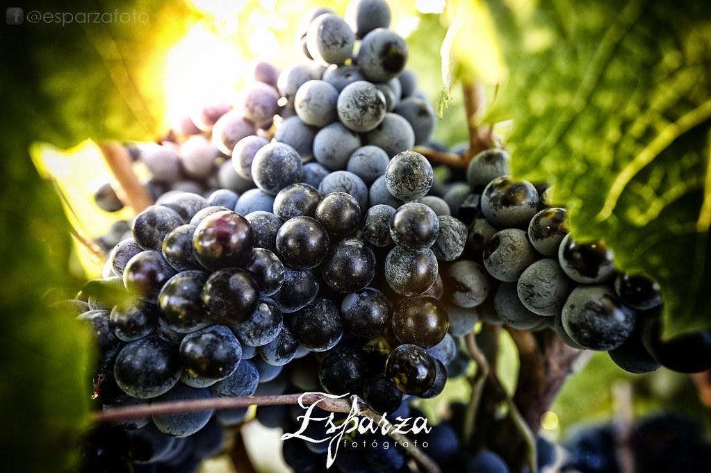 Racimo de uva monastrell. Jumilla (Murcia) Spain