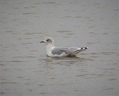 Sabine's Gull. Larus sabini.  possibly