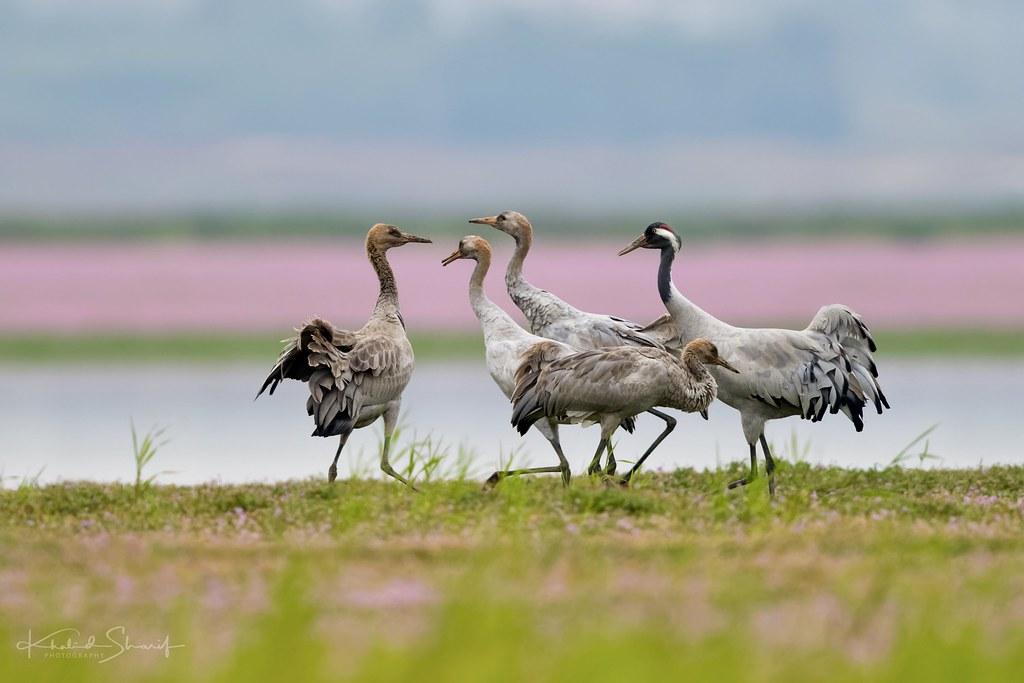 Common crane (Grus grus) 灰鹤 huī hè
