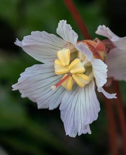 Shortia galacifolia var. brevistyla (Northern Oconee Bells)