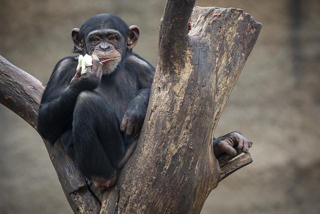 Chimpanse Kind