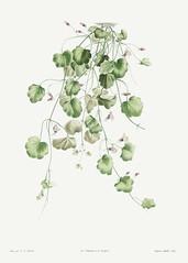 Blooming Kenilworth Ivy