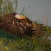 Bald Eagle with Stolen Breakfast by Raymond J Barlow