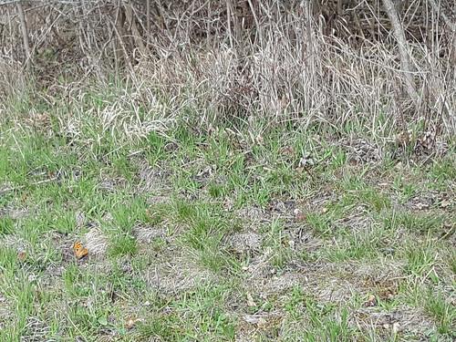 Großer Fuchs (Nymphalis polychloros) (2)