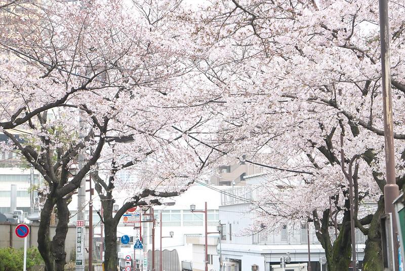 御殿坂の桜