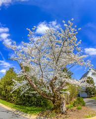 Cherry Blossoms 6 April 2019