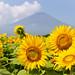 山中湖花都公園-向日葵