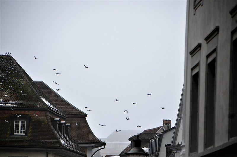 Gulls on roof 02.02 (2)