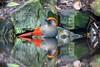 Sojkovec jihočínský. (Trochalopteron milnei)