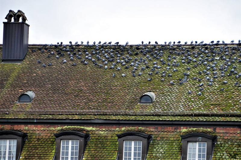 Birds on a roof Altstadt 01.01 (2)