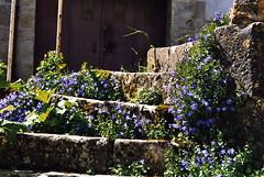 20080521 26793_A 0218A Treppenstufen Glockenblumen blau - Photo of Gissey-sous-Flavigny
