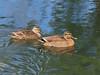 Photo:Eastern spot-billed ducks (Anas zonorhyncha, カルガモ) By Greg Peterson in Japan