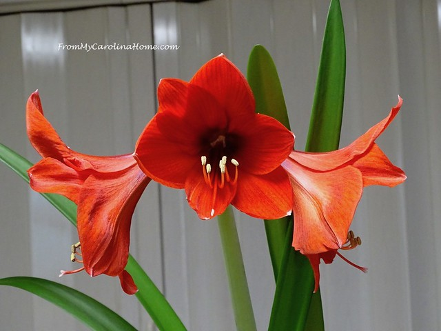 Amaryllis Rebloom 2019 at FromMyCarolinaHome.com