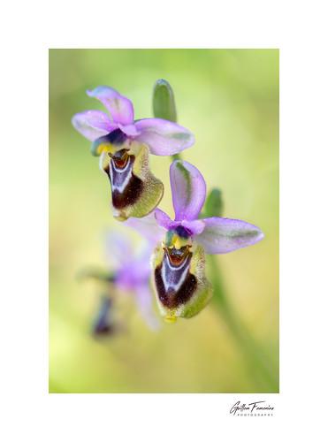 Bloom (Ophrys Tenthredinifera)