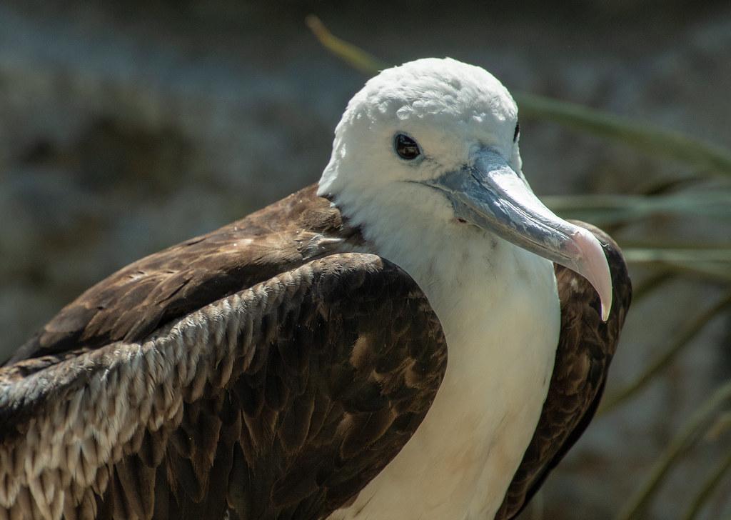Magnificent Frigatebird (injured in Hurricane Harvey)_2
