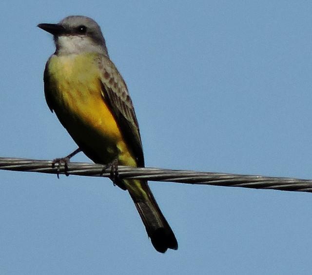 Kingbird (Western or Tropical)