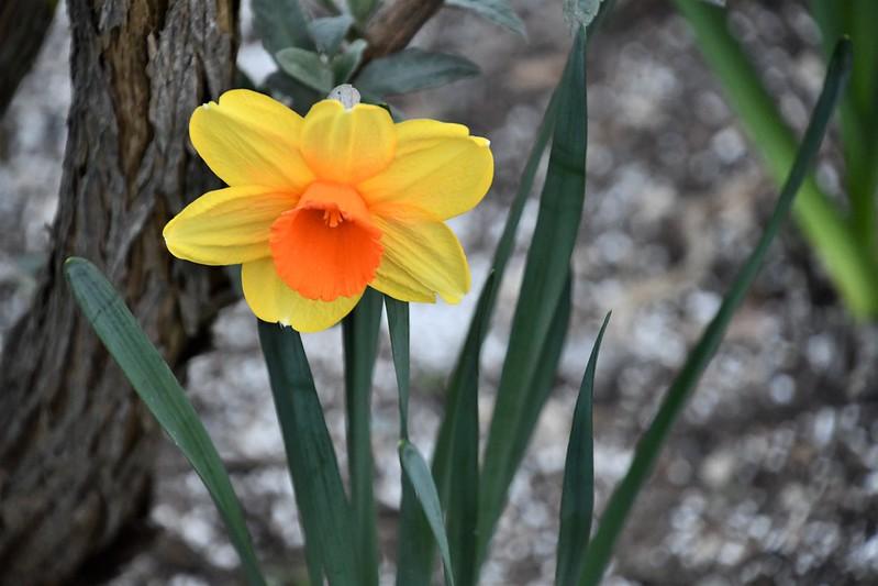 Daffodil 01.04 (4)