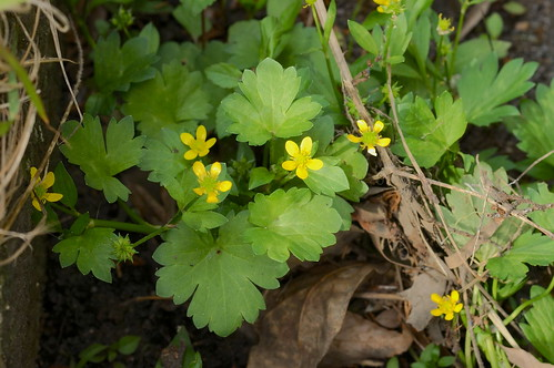 トゲミノキツネノボタン/Ranunculus muricatus