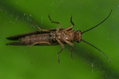 Stonefly Plecoptera of Whitsunday Shire