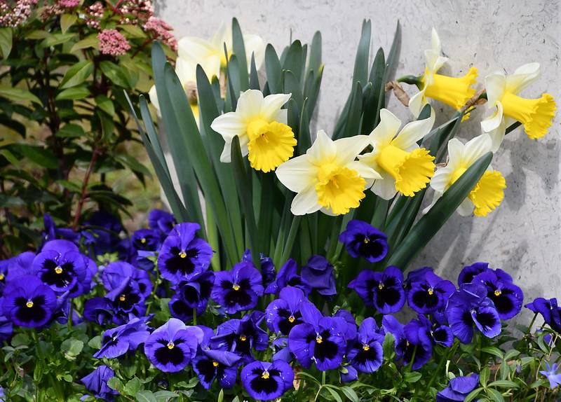 Daffodils 02.04 (11)